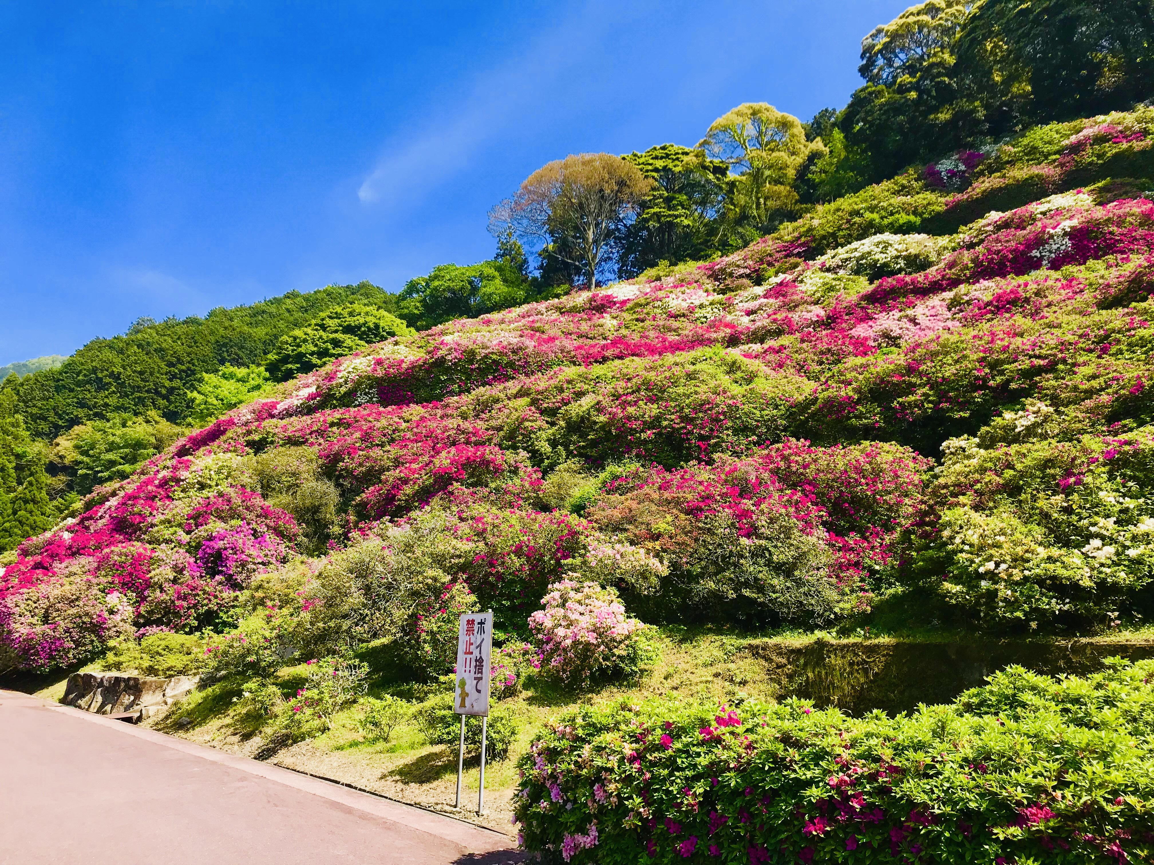 三隅公園のつつじを見てきました。